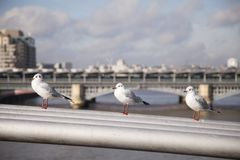Seagulls στήριξη στοκ φωτογραφίες με δικαίωμα ελεύθερης χρήσης