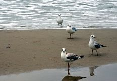 Seagulls στην ακτή της θάλασσας της Βαλτικής Στοκ Εικόνα