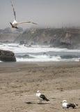 Seagulls στην παραλία Καλιφόρνιας Στοκ φωτογραφία με δικαίωμα ελεύθερης χρήσης