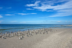 Seagulls στην όμορφη ακτή της Φλώριδας Στοκ Εικόνες