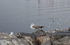Seagulls στη θάλασσα και στους βράχους ένα χειμερινό πρωί Στοκ φωτογραφίες με δικαίωμα ελεύθερης χρήσης
