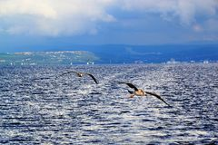Seagulls στη θάλασσα Στοκ Εικόνες