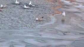 Seagulls στον πάγο το χειμώνα απόθεμα βίντεο