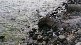 Seagulls στο κύμα και τις πέτρες θάλασσας απόθεμα βίντεο