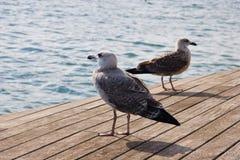 Seagulls στο λιμένα της Βαρκελώνης Στοκ Εικόνα