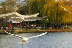 Seagulls στο πάρκο, Λονδίνο Στοκ φωτογραφία με δικαίωμα ελεύθερης χρήσης