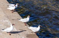 Seagulls στο στηθαίο κοντά στο Κόλπο της Φινλανδίας σε Kronstadt στοκ εικόνα με δικαίωμα ελεύθερης χρήσης
