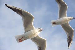 Seagulls της Ιστανμπούλ Στοκ Φωτογραφίες