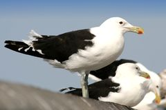 seagulls τοίχος στοκ εικόνες με δικαίωμα ελεύθερης χρήσης