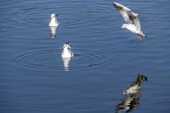 seagulls του Queensland mooloolaba ακτών της Αυστραλίας πετώντας που λαμβάνεται ηλιοφάνεια στοκ φωτογραφίες