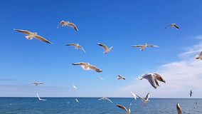 Seagulls τρόφιμα σύλληψης ενάντια στον ουρανό ενός σε αργή κίνηση απόθεμα βίντεο
