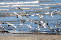 Seagulls 1. A bunch of seagulls landing on the sea shore on a winter morning Royalty Free Stock Photos