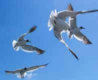 Seagulls #1. Seagull flocking for thrown bread/food royalty free stock photography