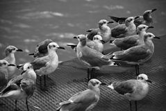 Seagulls. Riding on back of a ferry crossing the James Town River in Virginia, USA Stock Image