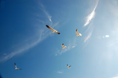 Seagulls. Flying seagulls against blue sky Stock Image