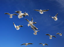 Seagulls. During feeding, a seagulls, trying to catch the thrown slice of bread, make dizzy tricks Stock Photos