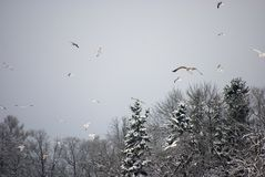 Seagulls. The big congestion of seagulls in the winter on ponds Stock Photography