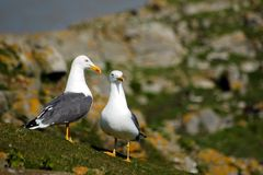 Seagulls. Twoo sea gulls on the rock, horizontally framed shot stock photography