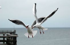 Seagulls. Two flying seagulls in competition at the Baltic Sea Royalty Free Stock Image
