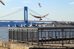 Seagulls. Flock of seagulls sitting on the guard rail. Verrazano bridge on the background royalty free stock image