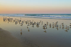Seagulls. Flock of seagulls on the ocean shore at the sunset stock photo