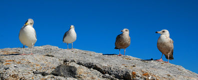 Seagulls. Panorama of four seagulls standing on a rock Royalty Free Stock Photography