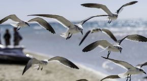 Free Seagulls Stock Images - 163116444