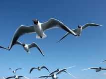 Seagulls. Near view of flying seagulls with blue sky in the background Stock Image