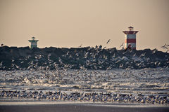 Seagulls 2. The changes on the beach of Scheveningen attract a lot of seagulls Royalty Free Stock Images