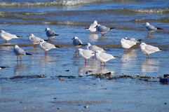 Seagulls 2. A bunch of seagulls laying on the sea shore on a winter morning Stock Photo