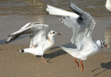 Seagulls #2 Royalty Free Stock Photography