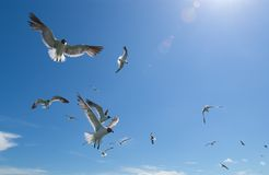 Seagulls #2. Seagull flocking for thrown bread/food royalty free stock images