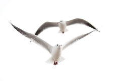 Seagulls. Two seagulls against a white background Stock Image