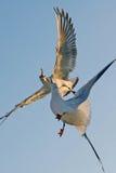 seagulls Στοκ φωτογραφίες με δικαίωμα ελεύθερης χρήσης