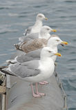 Seagulls Royalty Free Stock Photos
