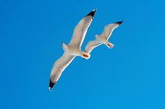 Seagulls. 2 seagulls flying overhead while looking down Stock Photo