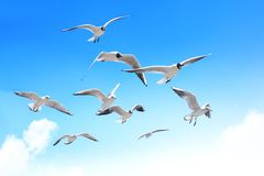Free Seagulls Royalty Free Stock Photography - 24271787