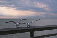 Seagulls Obrazy Royalty Free