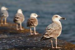 Seagulls. Zdjęcia Royalty Free