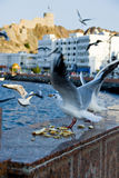 Seagulls. Eating bread in Muscat Royalty Free Stock Images
