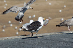 Seagulls. Scavenging for food and fish Royalty Free Stock Photography