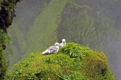 Free Seagulls Royalty Free Stock Images - 3672459
