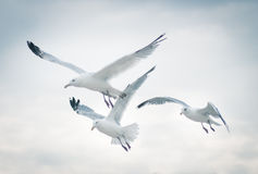 Seagulls. Flying in the cloudy sky Royalty Free Stock Photo
