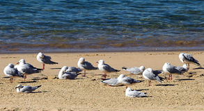 Seagulls. Group of Seagulls at the Shore Royalty Free Stock Image