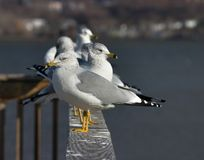Seagulls. Lined up on a fence Stock Images