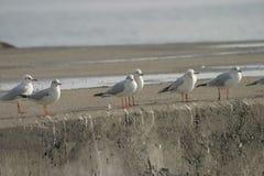seagulls Arkivfoton