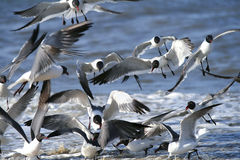 Free Seagulls Royalty Free Stock Photography - 4837057