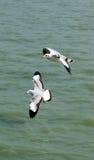 seagulls Arkivbild