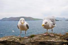 seagulls Royaltyfri Foto