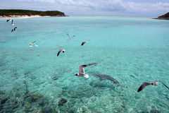Seagulls. Flying above sharks in the ocean in the Bahamas stock photo